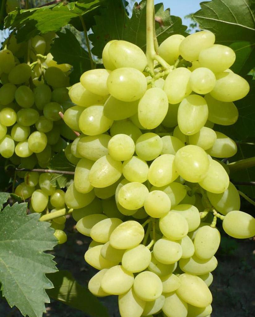 загружаемых фотографий виноград феномен описание сорта фото нет, больше хочу